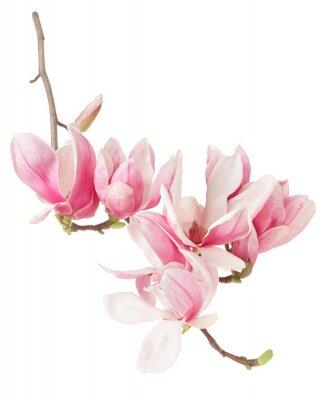 Фотообои Магнолия, весна розовый цветок ветви и почки на белом, отсечения путь