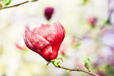 Фотообои дерево магнолии в цвету