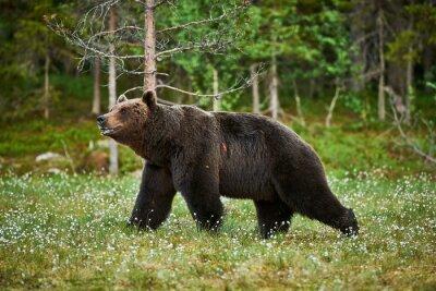 Фотообои Мужской бурый медведь