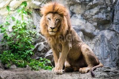 Фотообои Мужской лев, лежащий на скале