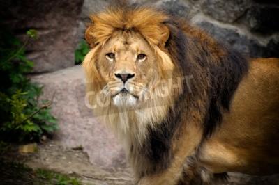Фотообои Мужской лев, глядя на скалистые обнажения.