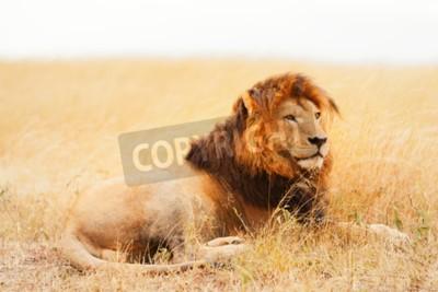 Фотообои Мужской лев лежал в траве на закате в Масаи Мара, Кения