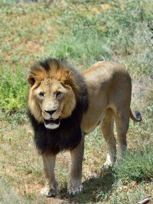 Фотообои Мужской лев, Намибия