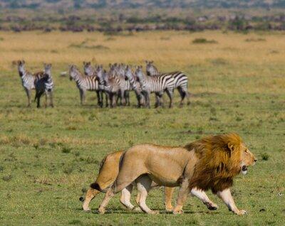 Фотообои Встреча льва и львицу в саванне. Национальный парк. Кения. Танзания. Масаи Мара. Серенгети. Отличной иллюстрацией.