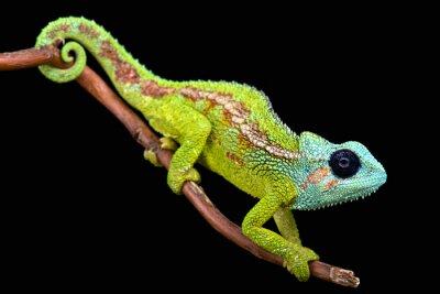 Фотообои Гора Hanang Хамелеон (Trioceros hanangensis)