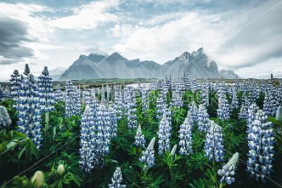 Фотообои Прекрасный вид на прекрасные цветы люпина в солнечный день. Расположение Набережная Стоккснес, Вестрахорн (Батманская гора), Исландия, Европа. Замечательный образ летнего пейзажа. Откройте для себя кр