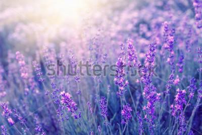 Фотообои Крупный план кустов лаванды на заходе солнца. Закат сияет над фиолетовыми цветами лаванды. Кусты в центре картины и солнечный свет слева. Прованс регион Франции.
