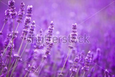 Фотообои Цветы на лавандовых полях в горах Прованса.