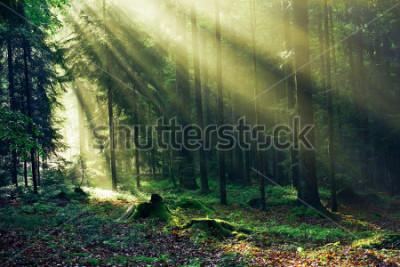 Фотообои Sunrays reaching through the Fir Trees in the Morning after heavy Rain