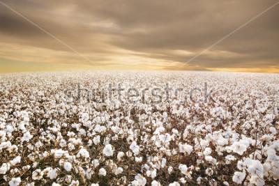 Фотообои Beautiful Cotton Field in Texas with morning Sunrise