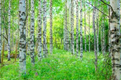 Фотообои Летний березовый лес вид из Соткамо, Финляндия.