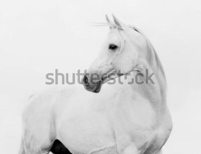 Фотообои arab horse in high key
