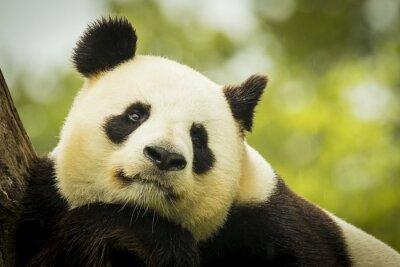 Фотообои Панда спит