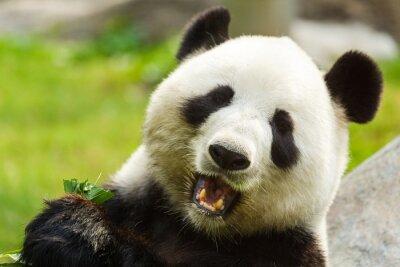 Фотообои Panda bear eating bamboo