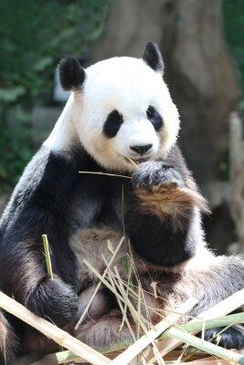 Фотообои Panda медведь ест бамбук