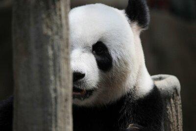 Фотообои Panda медведь портрет