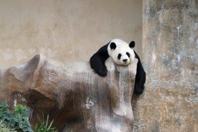 Фотообои панда отдыхает