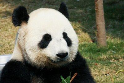 Фотообои Panda едят бамбук