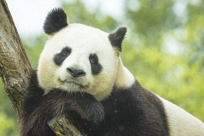 Фотообои Panda Portrait