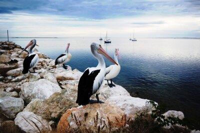 Фотообои Пеликаны, Остров Кенгуру, Австралия