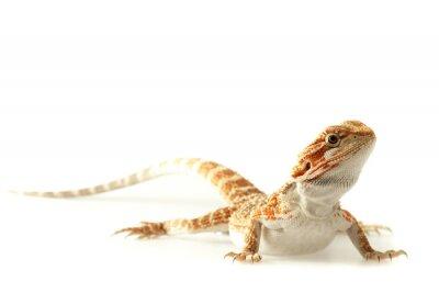 Фотообои Pet ящерица бородатый дракон на белом, узкой направленности
