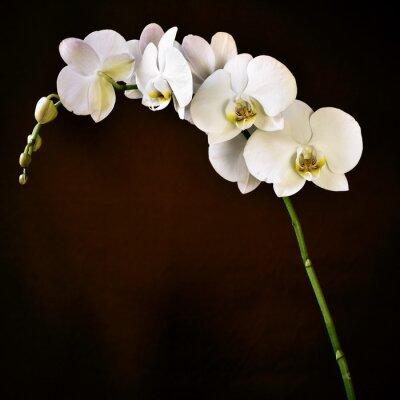 Фотообои Фаленопсис Aphrodite орхидеи