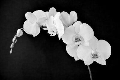 Фотообои Фаленопсис Aphrodite орхидеи, в черно-белом
