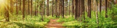 Фотообои панорама сосновый лес летом. Тропинка в парке