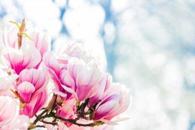 Фотообои розовый цветок магнолии