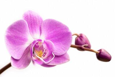 Фотообои Розовый цветок орхидеи на белом фоне. Цветок орхидеи изоляции.