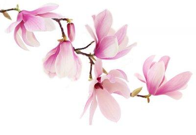 Фотообои Розовый весенние цветы магнолии филиал