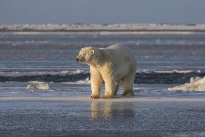 Фотообои Белый медведь проверки вещи