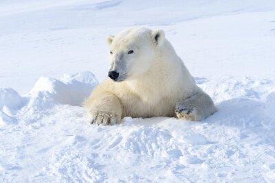 Фотообои Polar bear mother coming out freshly opened den