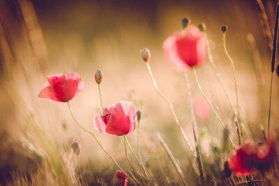 Фотообои Маки в поле летом природы с яркой золотой свет / лето фон / фон весной