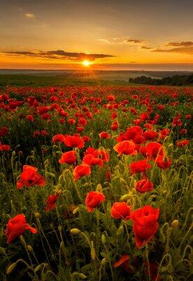 Фотообои Маковое поле на закате