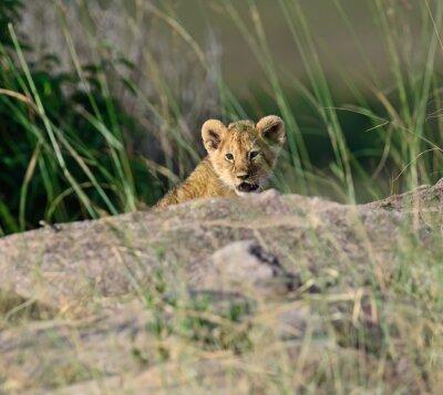 Фотообои Портрет африканского льва