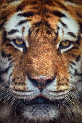 Фотообои Портрет тигра
