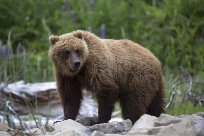Фотообои Портрет дикой бесплатный роуминг бурого медведя