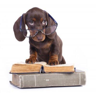 Фотообои purebred dachshund in glasses and book
