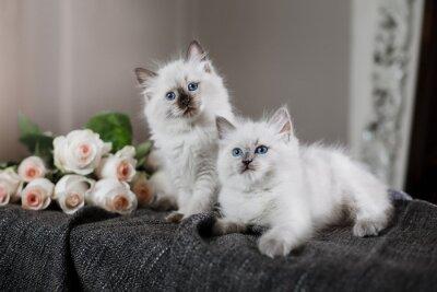 Фотообои Ragdoll синяя точка маленький котенок