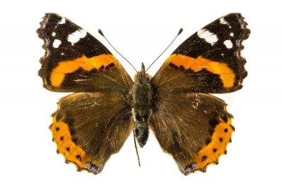 Фотообои Красный адмирал бабочка