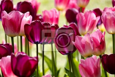 Фотообои red and pink tulip flowers