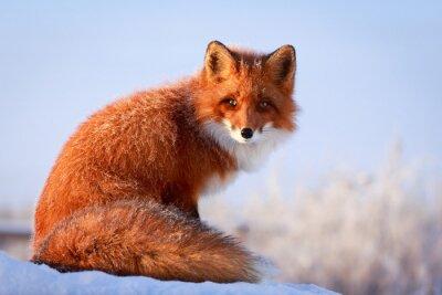 Фотообои рыжая лиса