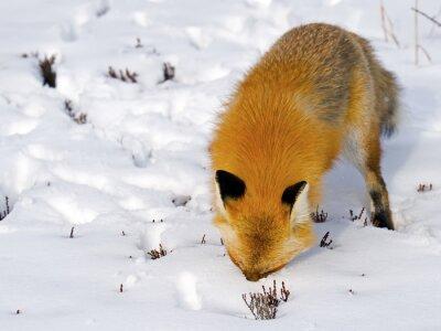 Фотообои Red Fox Face в снегу