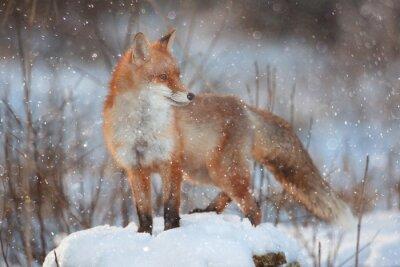 Фотообои красная лисица в зимнем лесу Довольно
