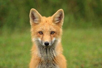Фотообои Red Fox Kit Глава портрет, PEI, Канада