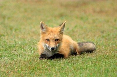 Фотообои Red Fox Kit позирует в траве луг, PEI, Канада