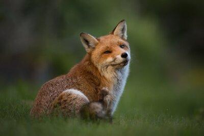 Фотообои Red Fox, сидя в траве