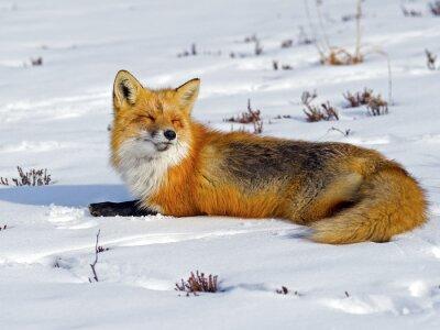 Фотообои Red Fox загорания в снегу