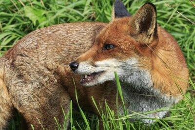 Фотообои Red Fox (Vulpes Vulpes)